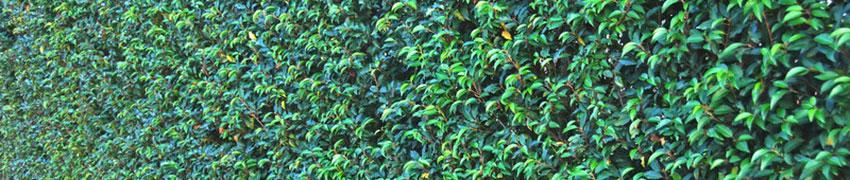 Kirschlorbeer im Garten