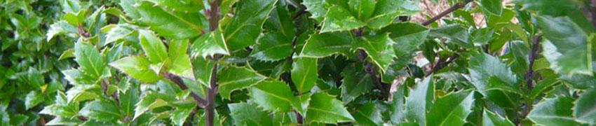 Stechpalme im Garten