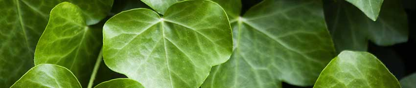Efeu als Heckenpflanze