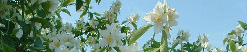 Gefüllter Gartenjasmin als Heckenpflanze