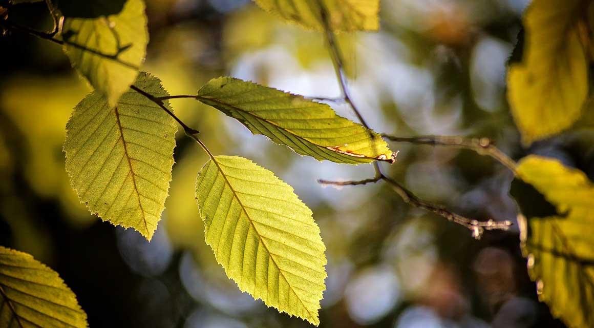 Hecken mit großen Blättern