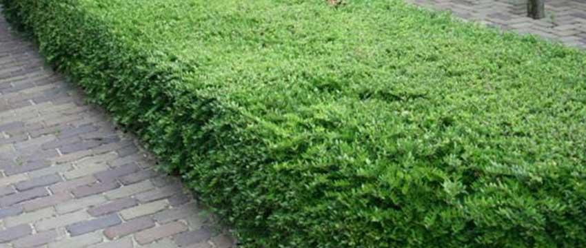 Heckenmyrte als Buchsbaum-Alternative