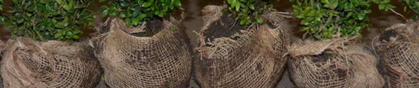 pflanzen-mit-wurzelballen