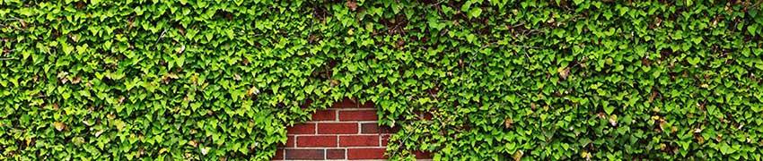 Immergrüne, niedrig wachsende Bodendecker
