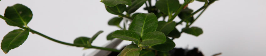 Japanische Kriechspindel als Heckenpflanze