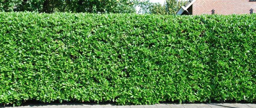 Kirschlorbeer 'Etna' - Prunus lauracerasus 'Etna' - Immergrüne Laubgehölze GARTEN SCHLÜTER