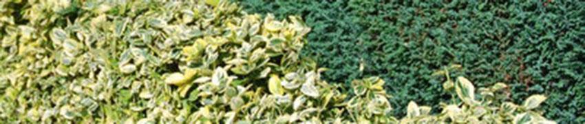 Immergrüne Sträucher: Eibe und Buchsbaum