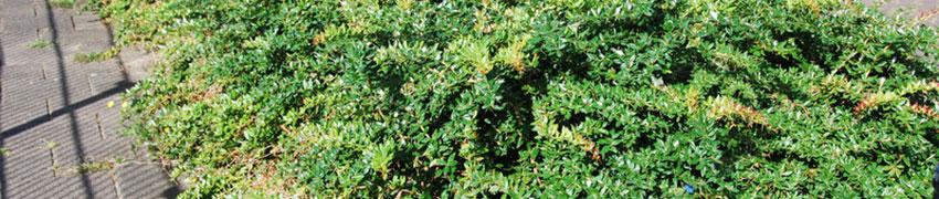 Berberitze im Garten