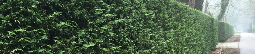 Wo kann eine stark verzweigte, blickdichte Thuja-Hecke am besten wachsen