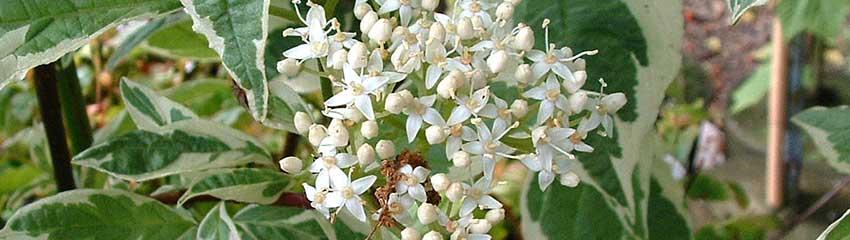 Blühende Heckenpflanzen für nährstoffarme Gartenböden