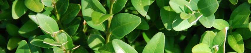 Buchsbaum als Heckenpflanze