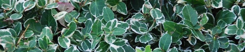 Buchsbaum-Alternativen sind resistent gegen Buchsbaum-Krankheiten