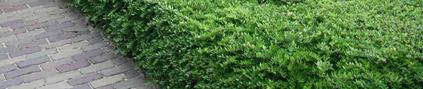 Buchsbaum-Ersatz kaufen