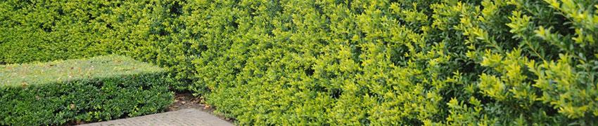 Warum ist Buchsbaum-Ersatz überhaupt notwendig?