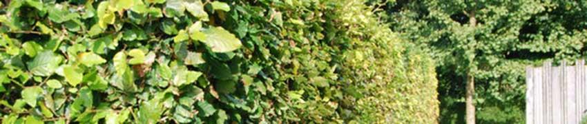 Buchsbaum pflanzen