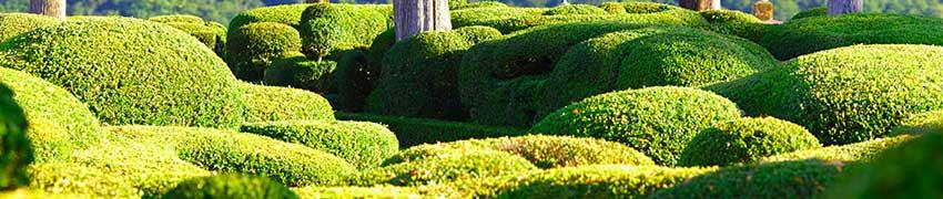 Buchsbaum schneiden: wann?