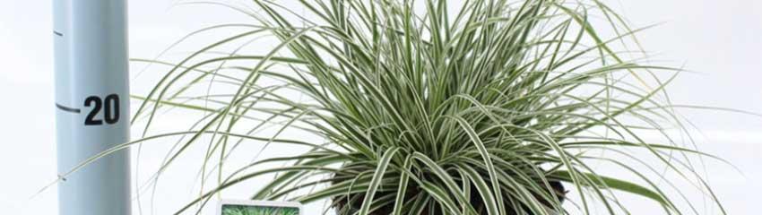Carex Everest /> <h2>Carex
