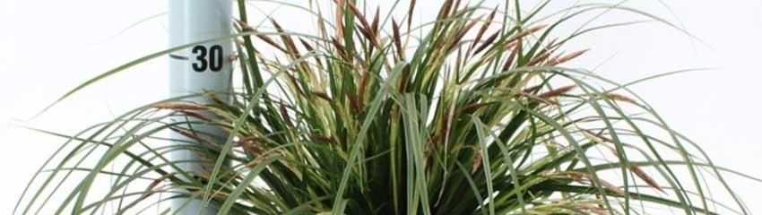 Carex 'Evergreen' schmückt Ihren Garten