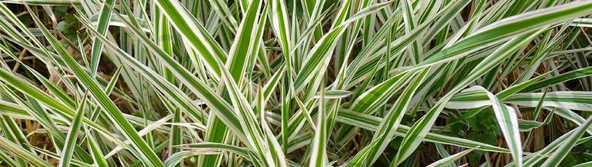 Carex morrowii in Ihrem Garten