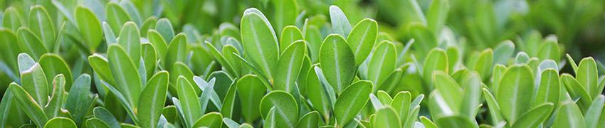 Eigenschaften des Buxus sempervirens