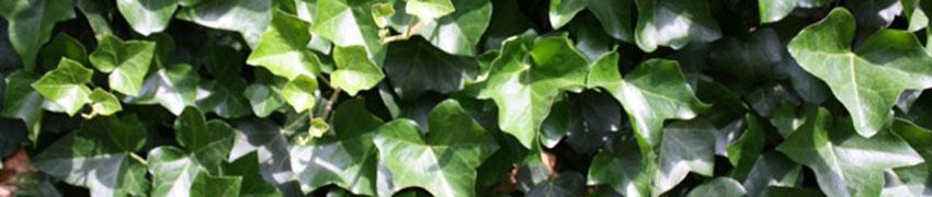 Eine Kletterpflanze als Hecke