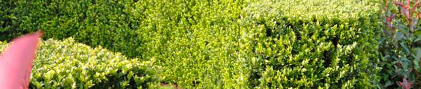Ersatzpflanzen Buchsbaum