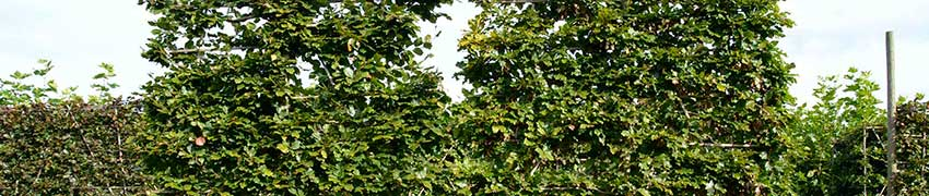 Fagus Sylvatica auf Heckenpflanzendirekt,de