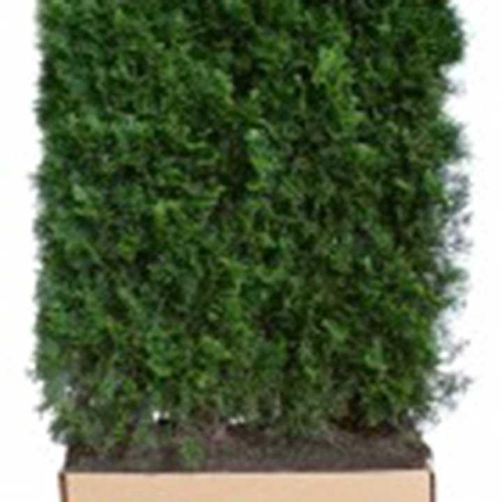 Lebensbaum fertig-Hecke in einem Pappkarton