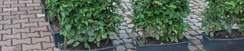 Fertig-Hecke pflanzen