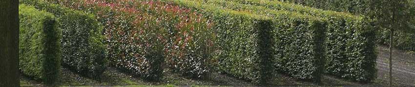 Fertighecke pflanzen: Wie machen Sie das?