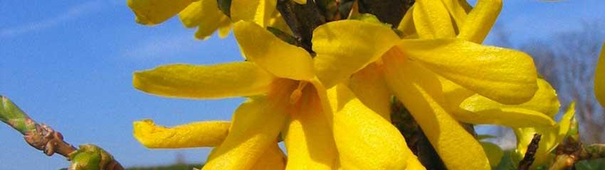 Blühende Heckenpflanzen online kaufen
