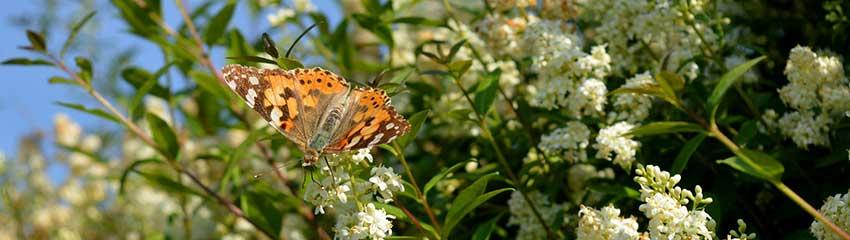 Gemeine Liguster: farbenfroh, insekten- und vogelfreundlich