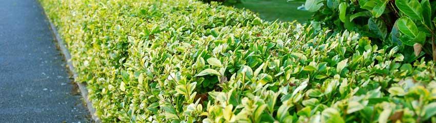 Goldliguster gepflanzt und gepflegt