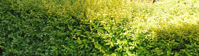 Goldliguster und andere fast immergrüne Heckenpflanzen