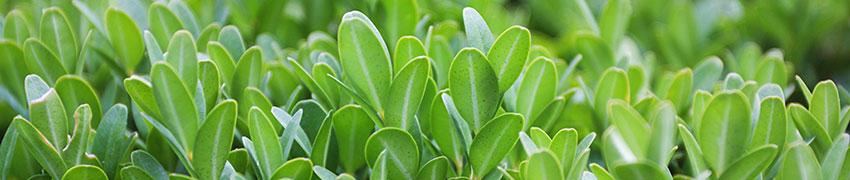 Eignet sich Heckenmyrte gut als Alternative zum Buchsbaum?