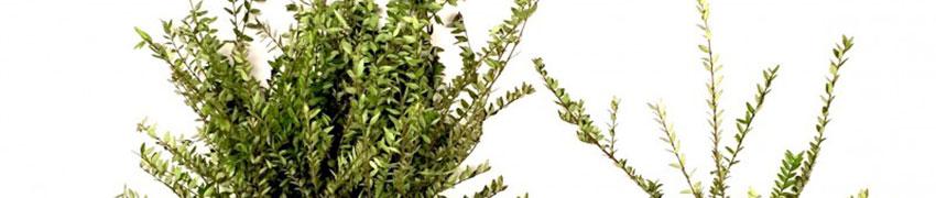 Heckenmyrte als Buchsbaum-Alternative: Vor- und Nachteile