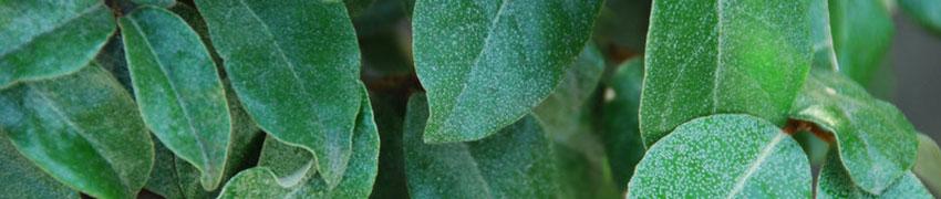 Heckenpflanzen für karge Böden