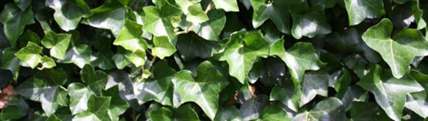 Wollen Sie Heckenpflanzen für nährstoffarme Böden online bestellen?