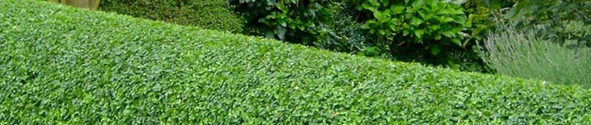 Hohe Heckenpflanzen