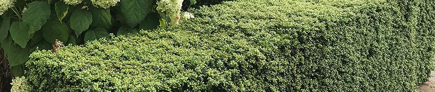 Andere hübsche Buchsbaum-Ersatz-Möglichkeiten