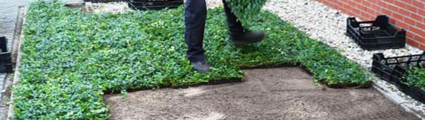 Immergrüne Bodendecker online bestellen