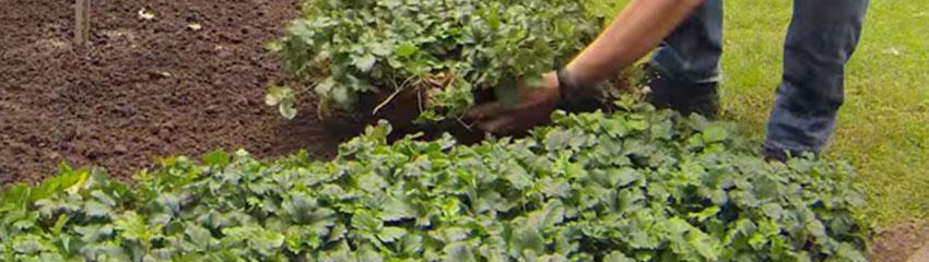 Immergrüne Bodendecker pflegen
