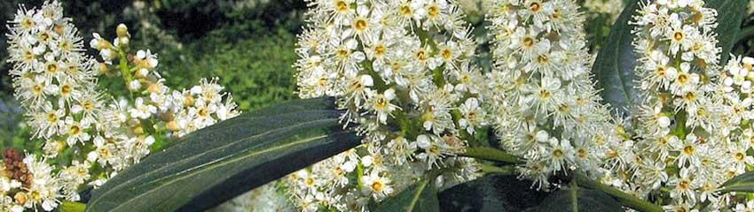 Immergrüne Heckenpflanzen für nährstoffarme Gartenböden