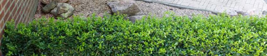 Nach dem Pflanzen sollten Japanische Stechpalmen gepflegt werden
