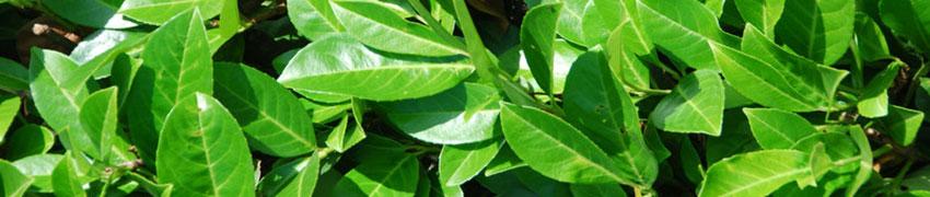 Kirschlorbeer Prunus