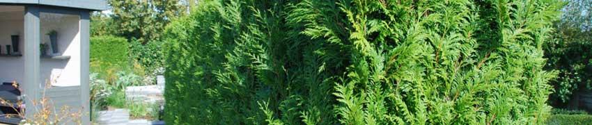 Lebensbaum in Ihrem Garten