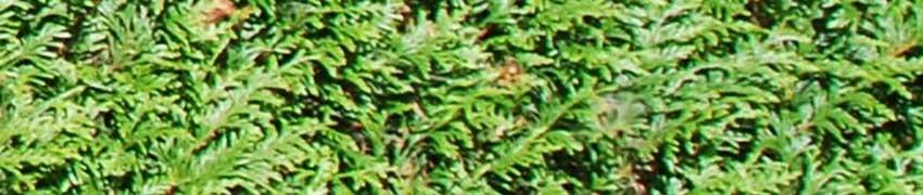 Lebensbaum pflanzen