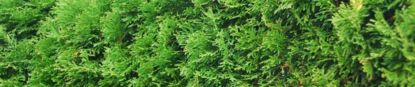 Lebensbaum Pflanzvorbereitung