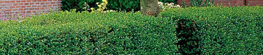 Ligusterhecke Pflanzen