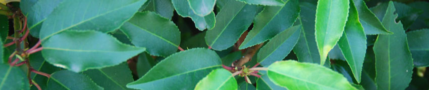 Lorbeerhecke pflanzen: Wie funktioniert das?